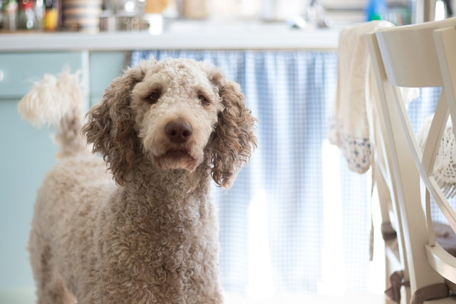 Poodle dogs that are good with kids